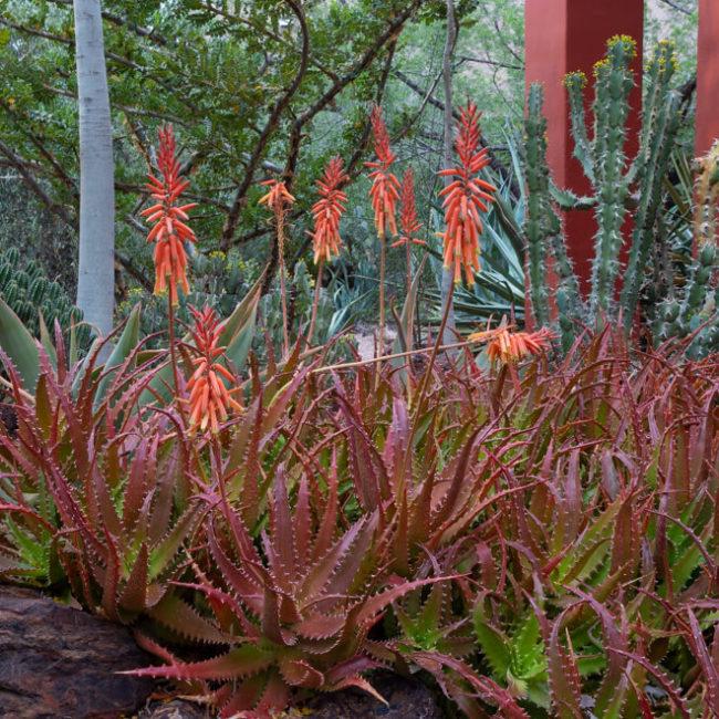desert botanical garden aloe