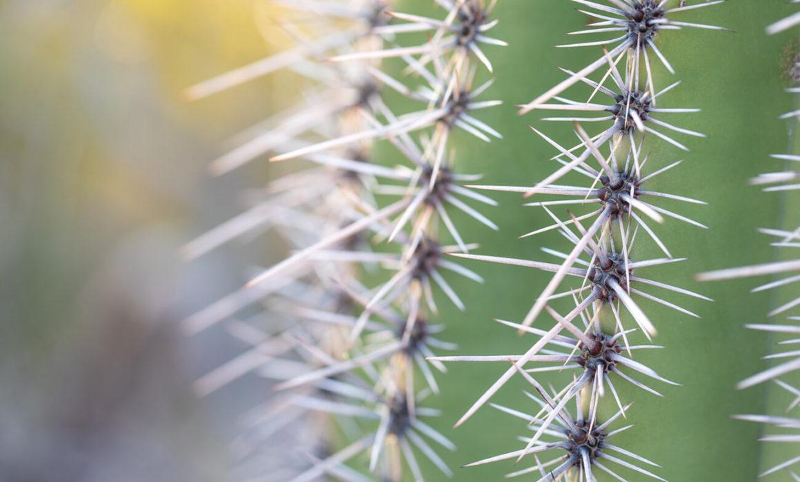 winter photography inspiration; a close-up of a saguaro cactus needles